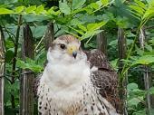 Gleich am Eingang konnte man einen jungen Falken begutachten. Auf dem Weg zur Vorführung kam man auch an einem Uhu und einem ausgewachsenen Steinadler vorbei.